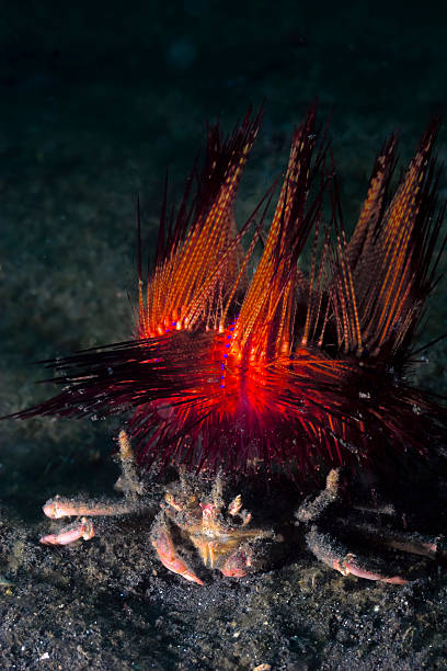 Decorator crab on black sand underwater and red sea urchin stock photo