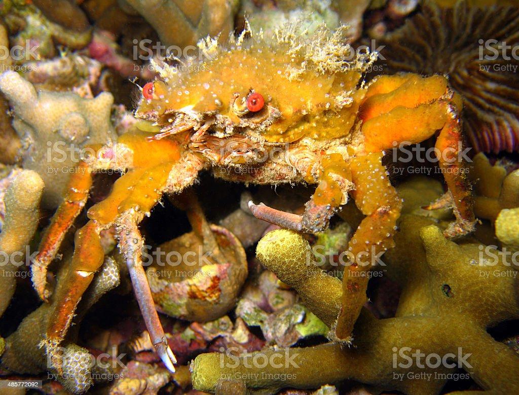 Decorator Crab stock photo