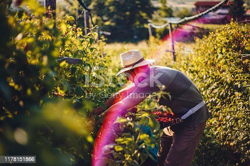 Hard working young farmer picking raspberries in his farm