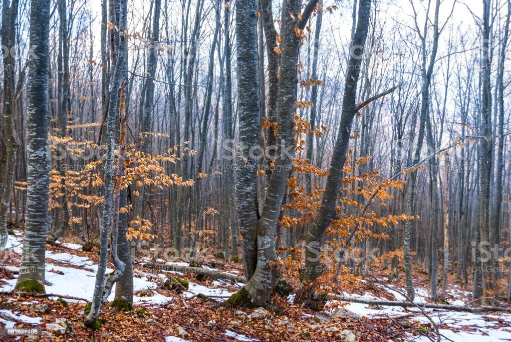 deep autumn beech forest in a mist stock photo