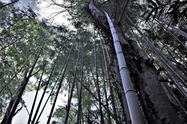 Deep bamboo grove, Japanese bamboo grove stock photo