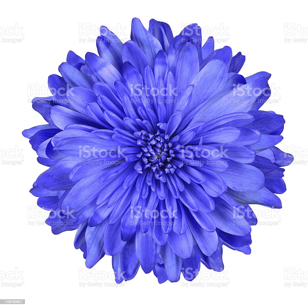 Deep Blue Chrysanthemum Flower Isolated stock photo