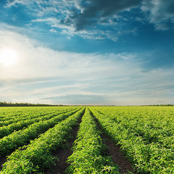 deep blue sky on sunset and field with green tomatoes - tomato field stock photos and pictures