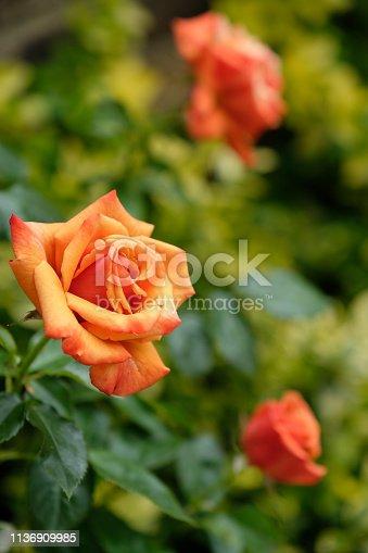 Beautiful hybrid tea rose in deep copper orange colour