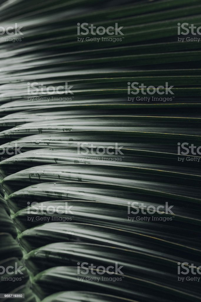 Deep dark green palm leaves pattern closeup stock photo