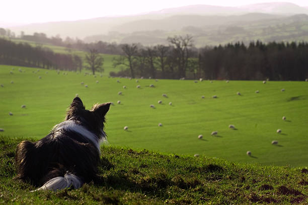 A deep dog keeping a close watch on the sheep Border Collie watching sheep herding stock pictures, royalty-free photos & images