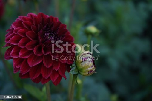 Deep durgundy dahlia bloom (formal decorative type) against a background of other dahlias and foliage,beautiful flowers,close-up.