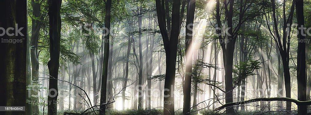 Deep forest morning light stock photo