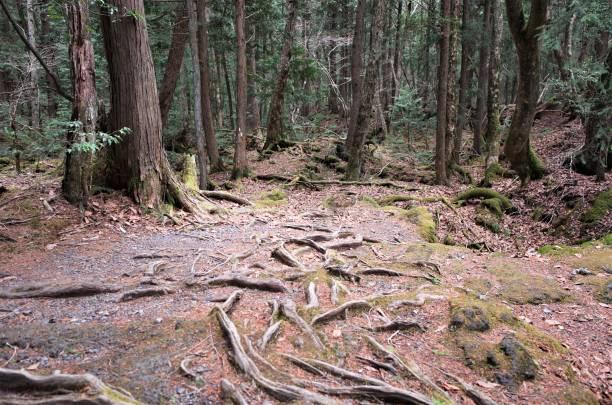 Deep forest of Aokigahara Jukai Sea of Mt.Fuji in Japan stock photo
