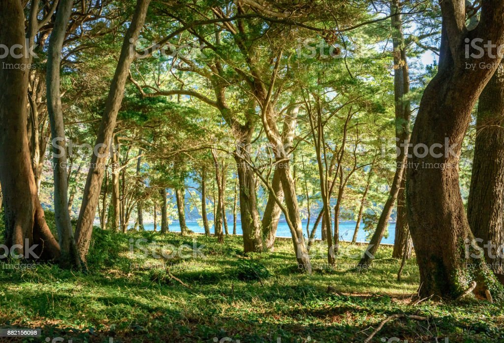 Deep forest trees stock photo
