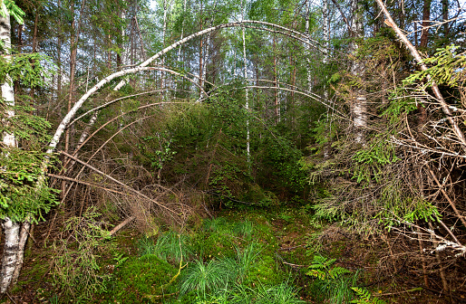 Deep forest with green spruces and birches in summertime