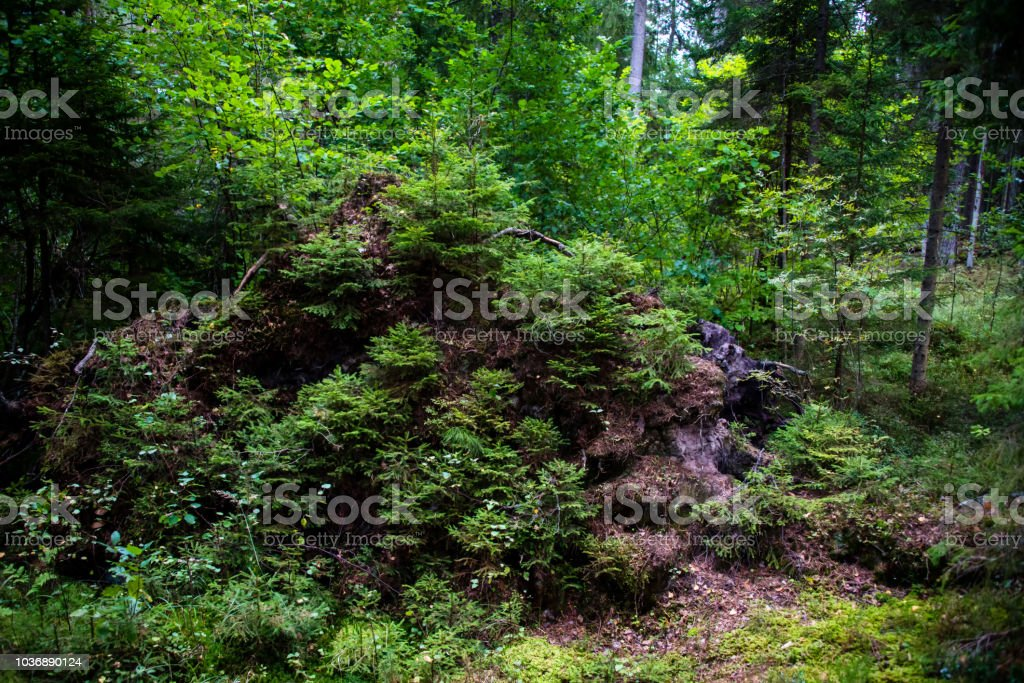 Deep Green Forest in Northern Europe - foto stock