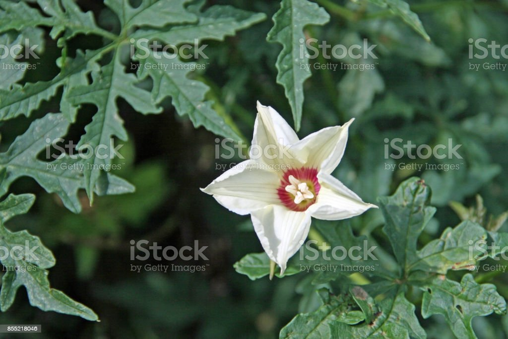 Deep green leaves white star flower red pink center stock photo deep green leaves white star flower red pink center royalty free stock photo mightylinksfo