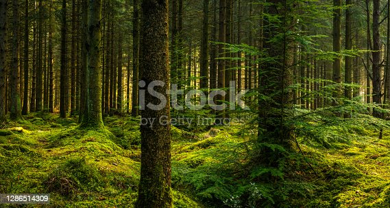 Soft light streaming through the pine needles of a green forest to illuminate the soft mossy undergrowth in this idyllic woodland glade.