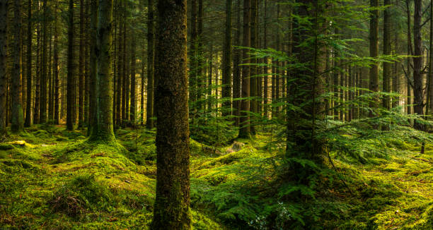 Deep in a pine forest wilderness green mossy clearing panorama stock photo
