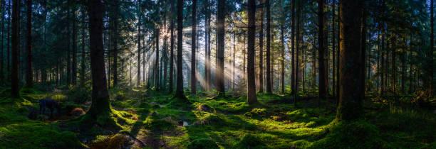Deep in the wild woods sunbeams illuminating green forest panorama stock photo