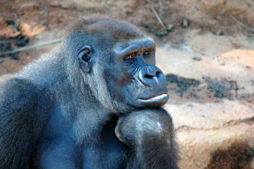 A lowland gorilla taking a pause from its busy day to be deep in thought or daydreaming.Please click on my portfolio for more expressive gorilla head shots (and other animals) like this one -- Thanks!