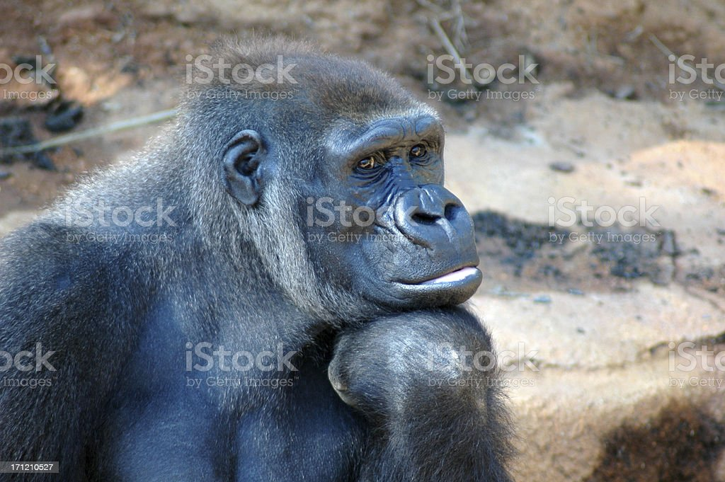Deep in Thought - Lowland Gorilla Thinker stock photo