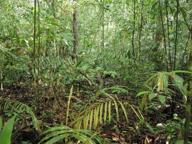 tiefes dschungeldickicht aus grünem amazonas selva - baumgruppe stock-fotos und bilder