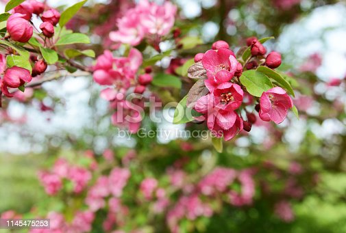 Deep pink blossom flowers in selective focus on a crab apple tree, Malus Indian Magic - copy space
