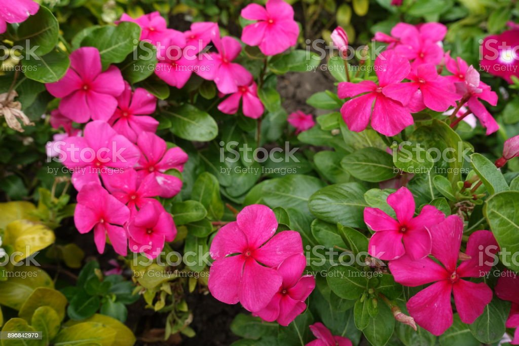 Deep Pink Flowers Of Madagascar Periwinkle In Speptember Stock Photo ...