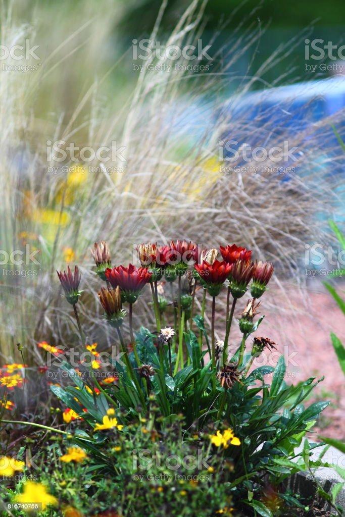 Deep red firewheel flowers in flowerbed. stock photo