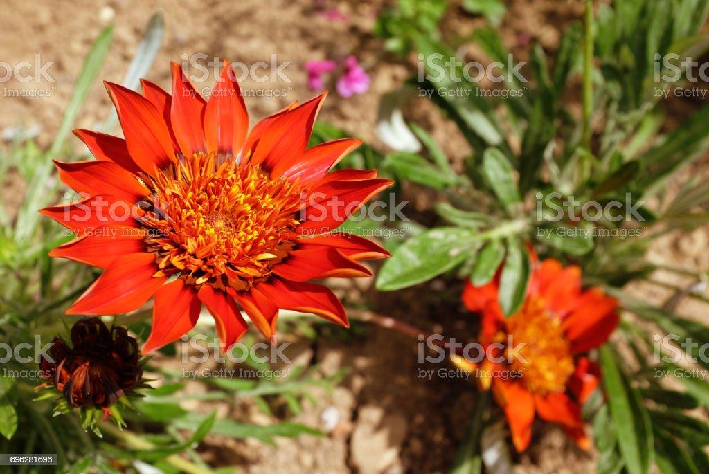 Deep red gazania flower stock photo