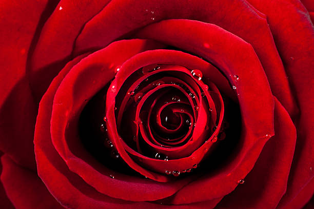 Deep red rose closeup macro with small drops of water. – zdjęcie