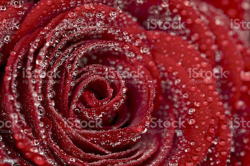 deep red rose frower background with water drops royalty-free stock photo
