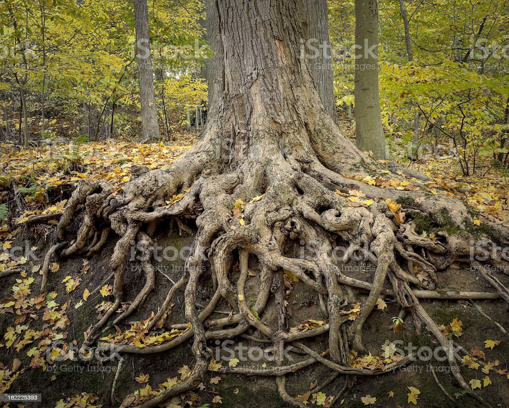 Deep Roots stock photo