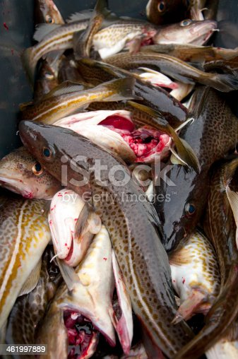 932662672 istock photo Deep sea fishing. The catch of cod. 461997889