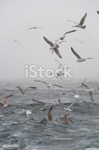 932662672 istock photo Deep sea fishing. The catch of cod. 462544257