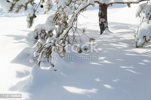 Deep heavy snow weighing down the branches of a pine tree after a blizzard.