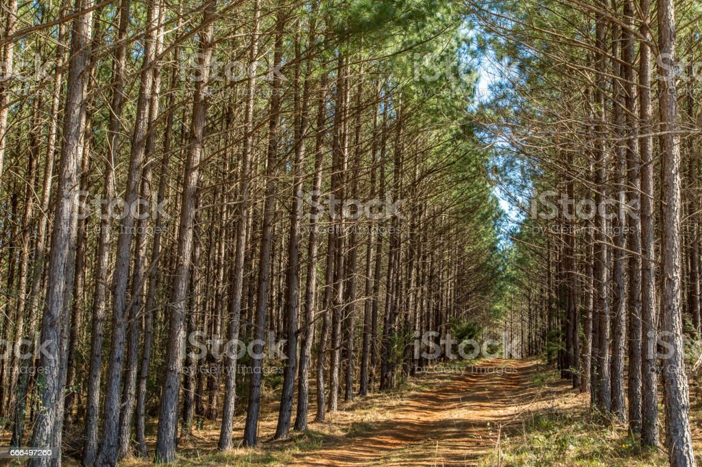 Deep South Pine Woods stock photo