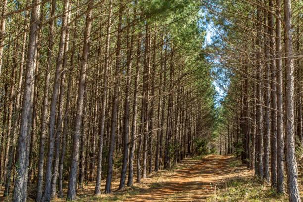bosques de pinos del sur - sur fotografías e imágenes de stock