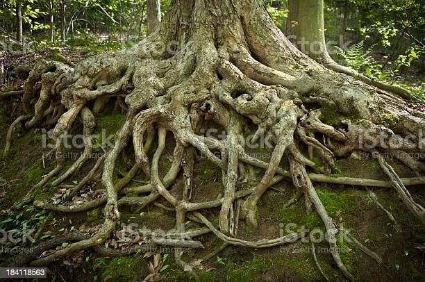 Deep tree roots exposed by erosion on a hillside picture id184118563?b=1&k=6&m=184118563&s=612x612&h=fbvfjkubf1savm6netvdhlugurqb4qgaifqjpj nscy=