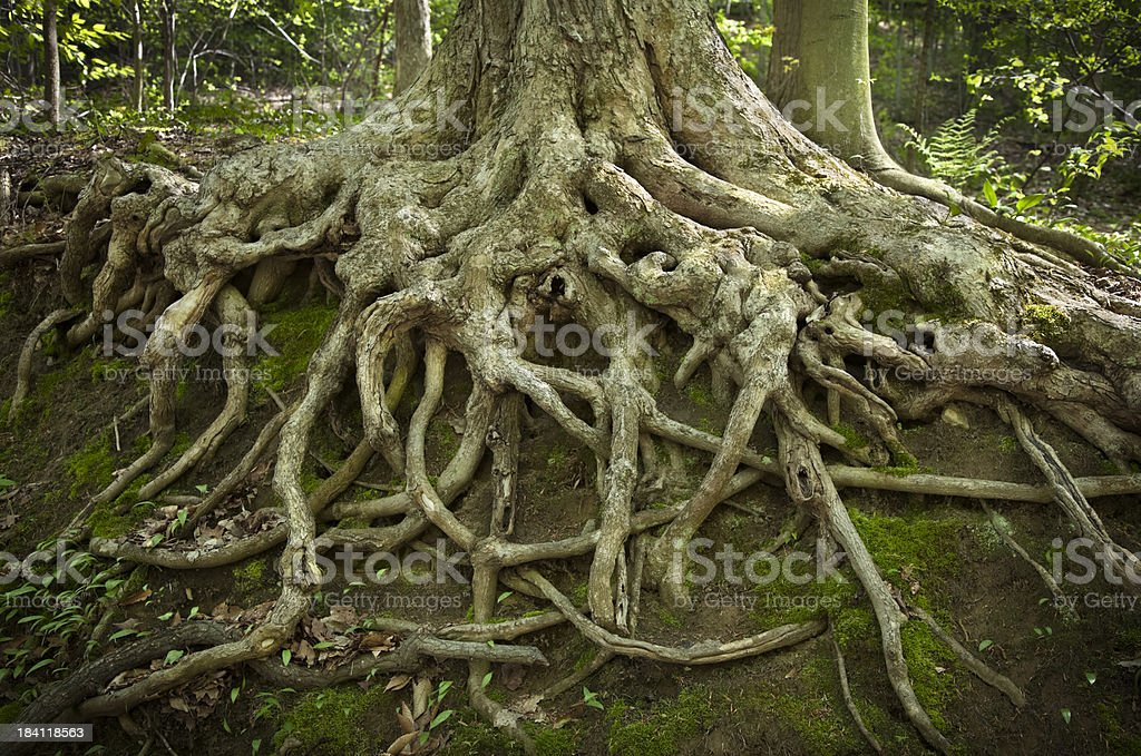 Deep Tree Roots Exposed by Erosion on a Hillside stock photo