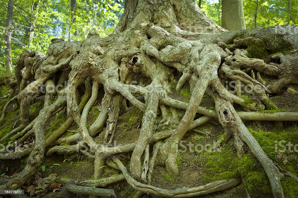 Old tree roots exposed on a hillside.I invite you to view some of my...