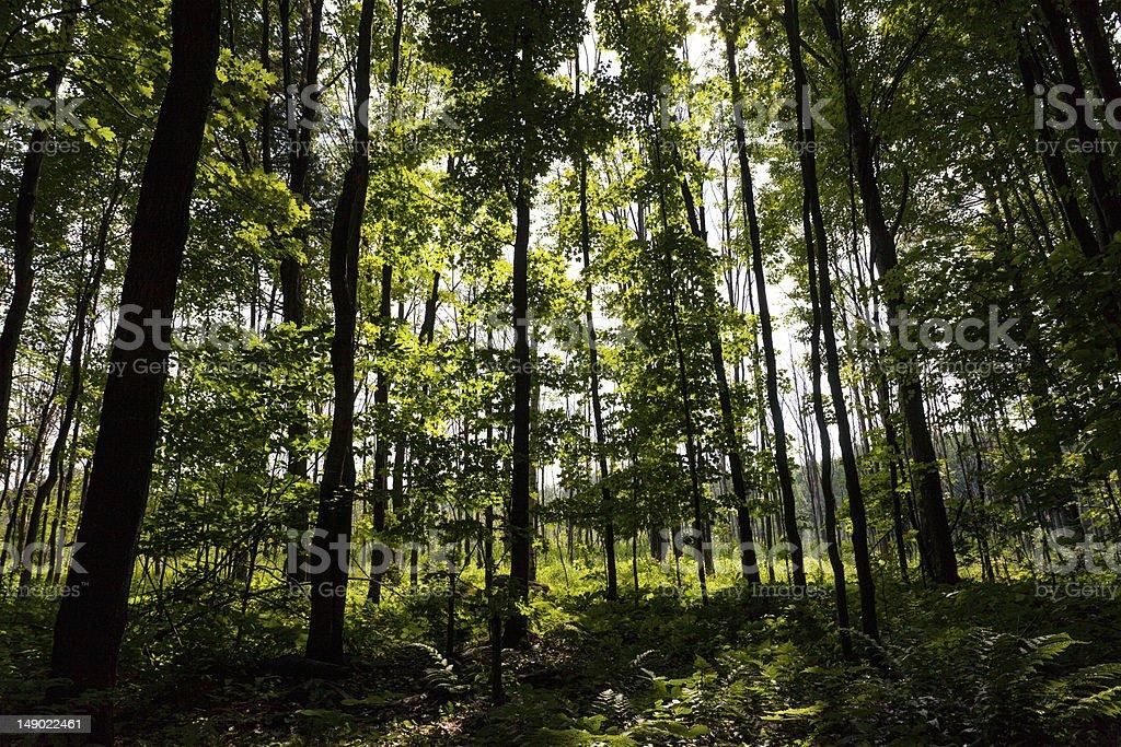 Deep Woods royalty-free stock photo