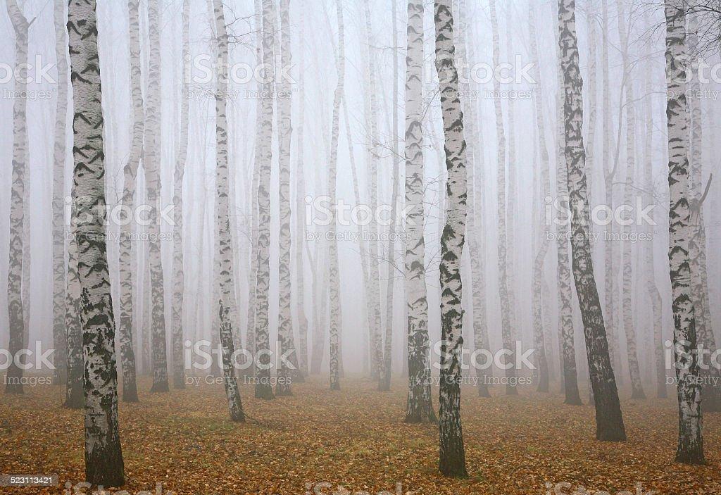 Deeply mist in autumn birch forest stock photo