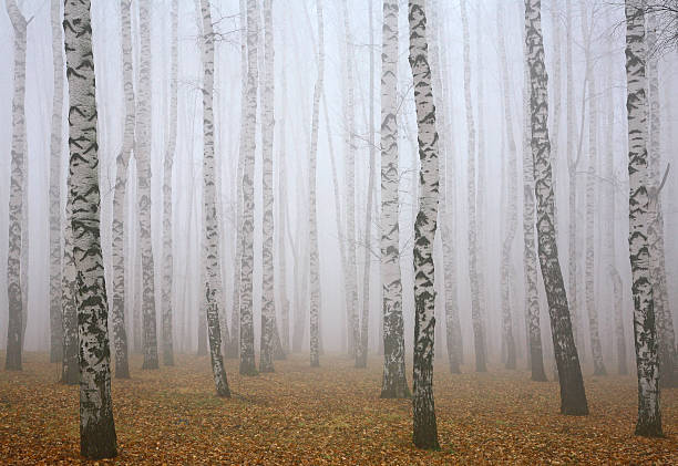 Tief Nebel im Herbst Birke Wald – Foto