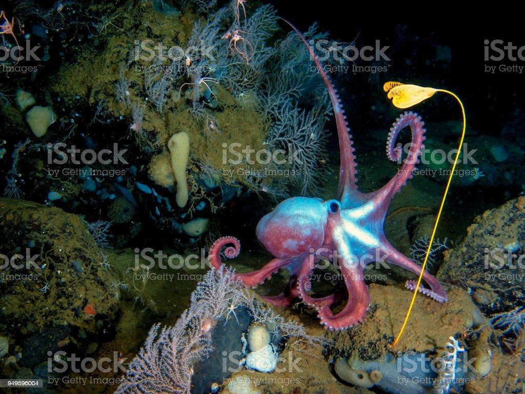 Deep-sea octopus in his own garden