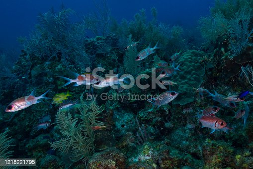 Caribbean marine life with the Deepwater Squirrelfish (Sargocentron bullisi) in Grand Cayman - Cayman Islands