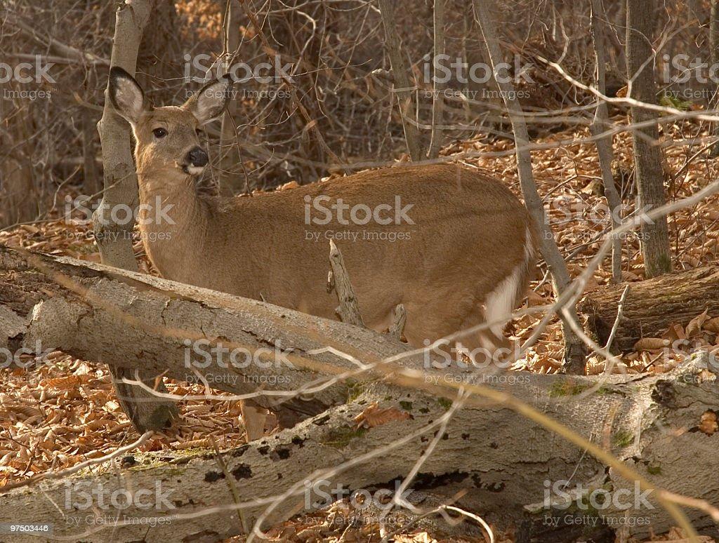 Deer 3 royalty-free stock photo