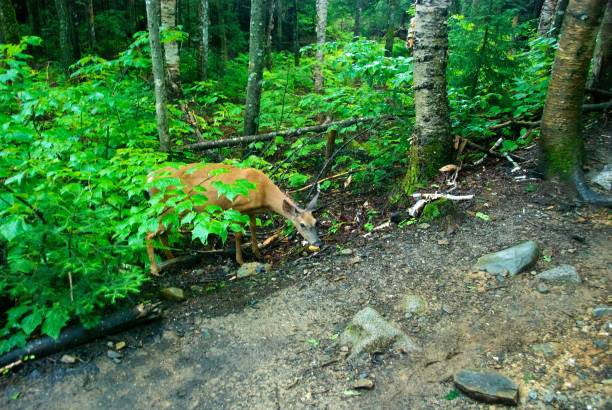 Deer Along Trail in Forest stock photo