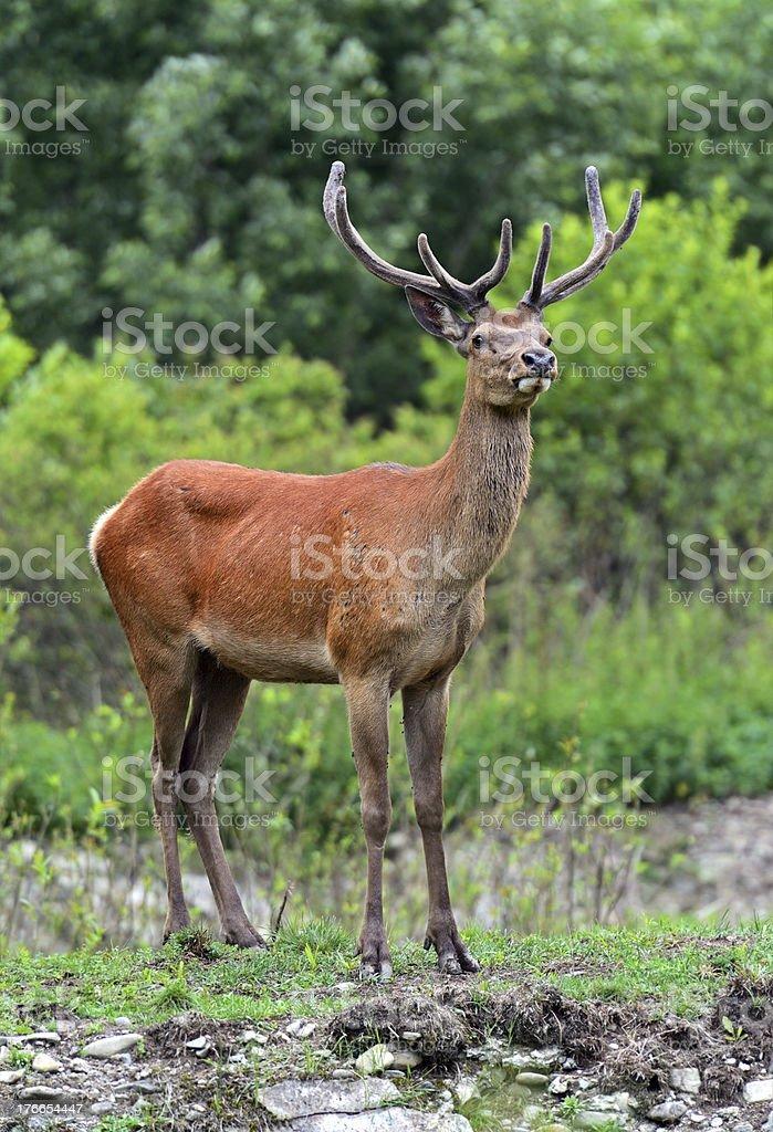 deer de Altai foto de stock libre de derechos