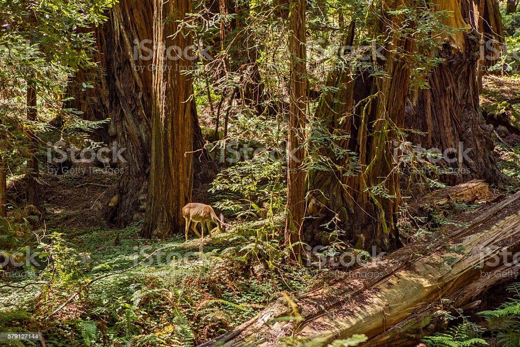 Deer Among Redwoods stock photo