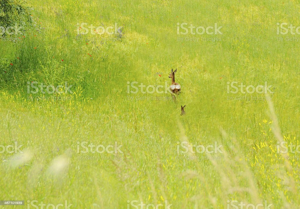 Deer and baby in poppy field stock photo