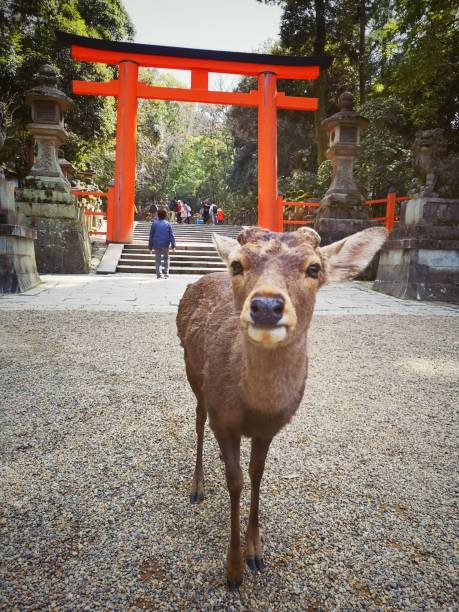 Deer and tourists in front of torii gate at Nara Park, Japan March 27, 2019 - Nara, Japan: March 27, 2019 - Nara, Japan: some deers and tourist in front of a torii gate at Nara Park torii gate stock pictures, royalty-free photos & images