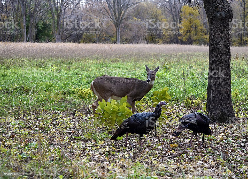 Deer and Turkey in Field stock photo